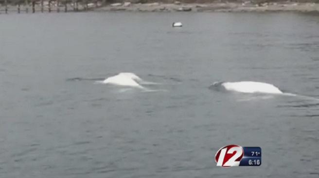 Beluga whales off the coast of Jamestown_171864