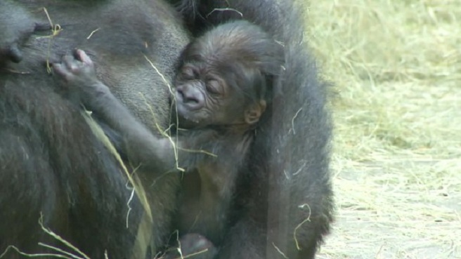 Gorilla born at Knoxville Zoo_177534