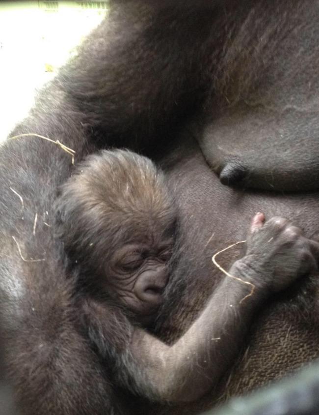 Gorilla born at Knoxville Zoo_177533
