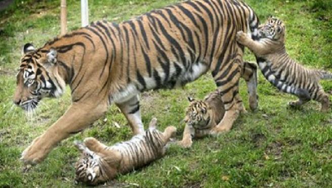 Tacoma tigers_175541