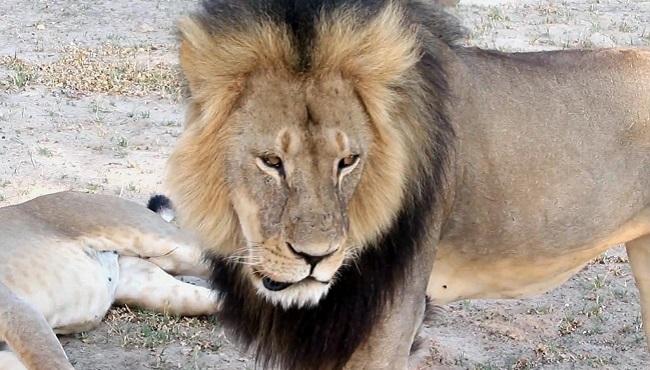 Zimbabwe Lion Killed_196724