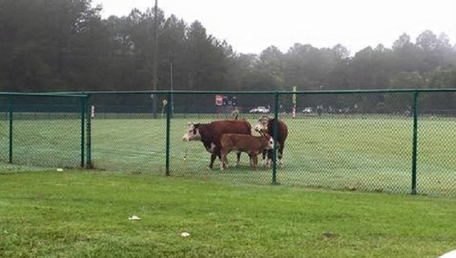 escaped cattle 2_213725
