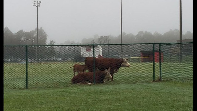 escaped cattle_213720