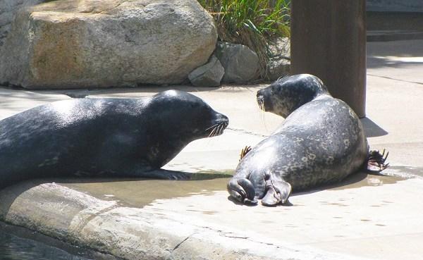 RWP Zoo harbor seals_209793