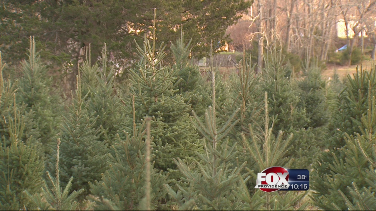 Christmas Trees_233981