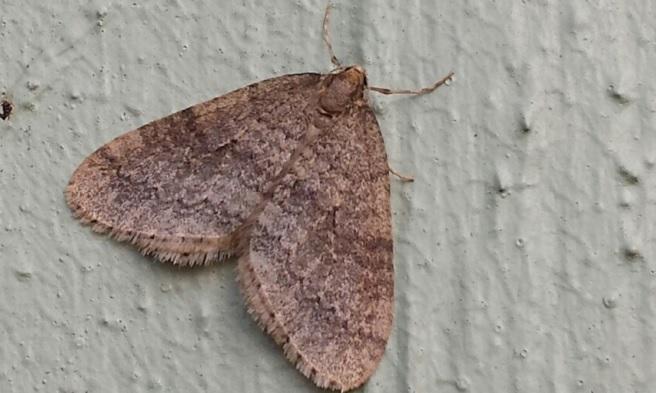 Winter moth population seeing big increase