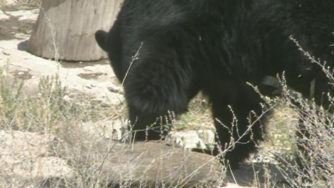 nmsu-conducts-black-bear-study_319677