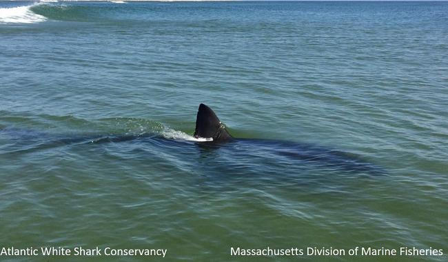 shark cape cod_326809