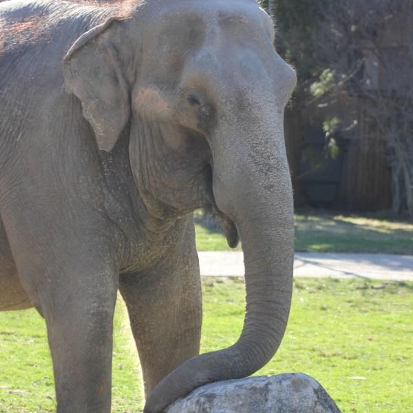 buttonwood park zoo elephant Ruth_332902