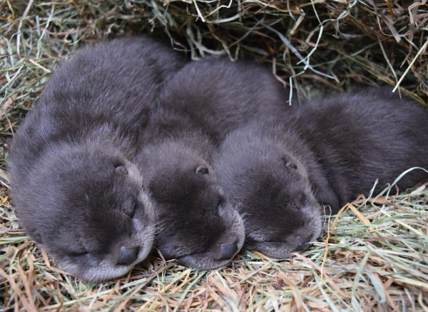 otter pups 3_466902