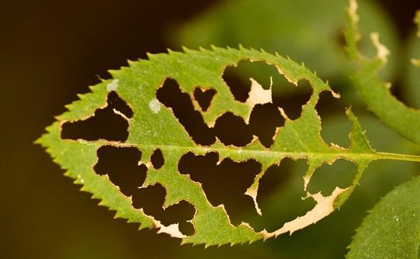 eaten up leaf_472630
