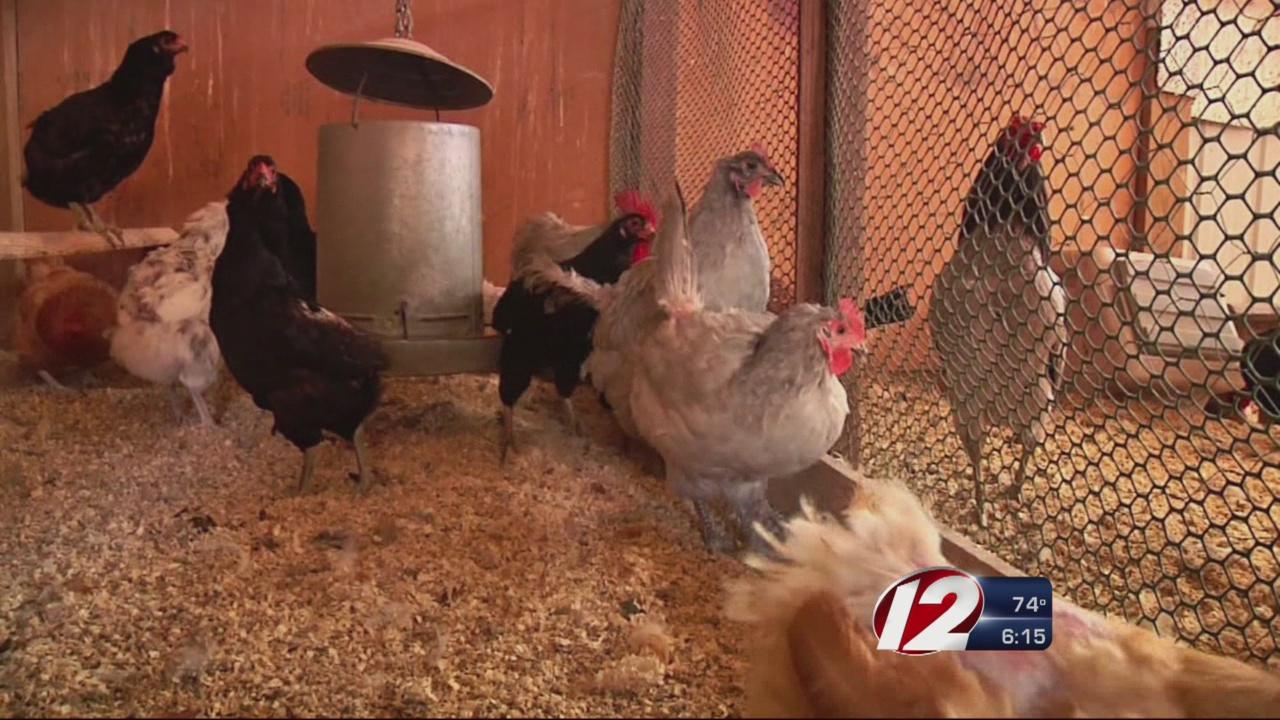Chickens_169712