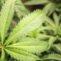 marijuana_501420