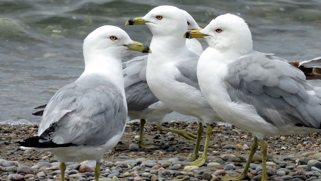 seagulls_517721