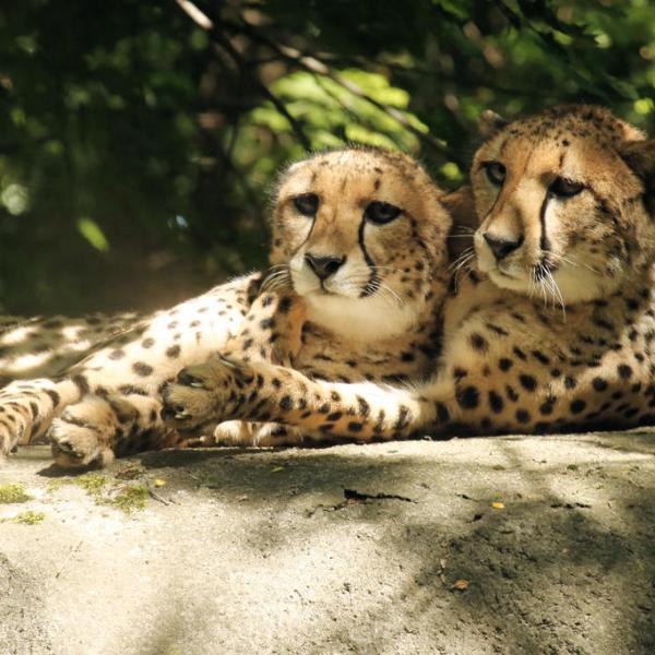 Roger Williams park Zoo cheetahs_189156