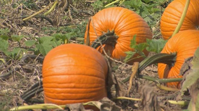 Pumpkin crops_360851