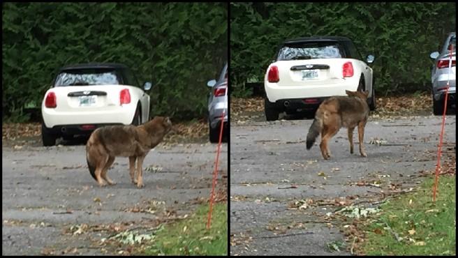 Coyotes 3_581711