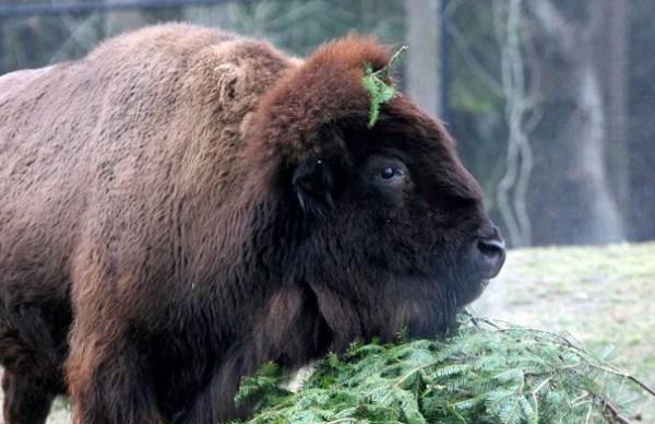 Grace, Buttonwood Park Zoo Bison