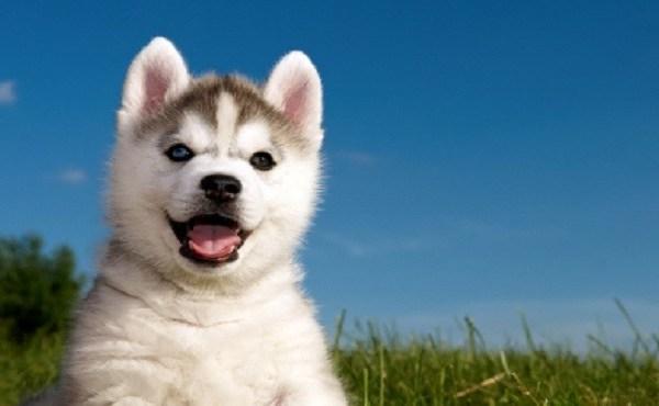 Siberian husky dog puppy_1521135987060