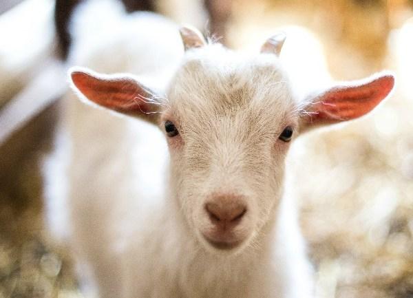 Baby goat_