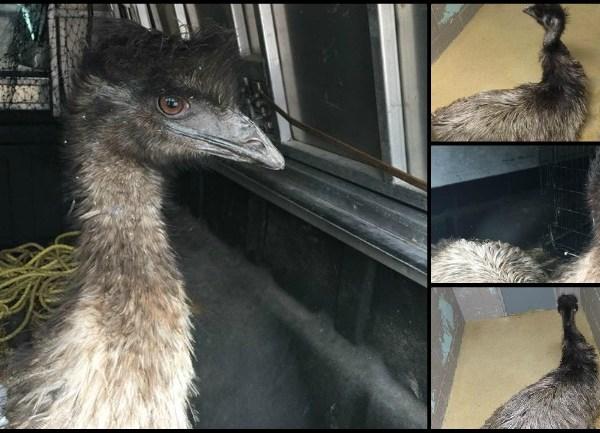 Freetown Emus