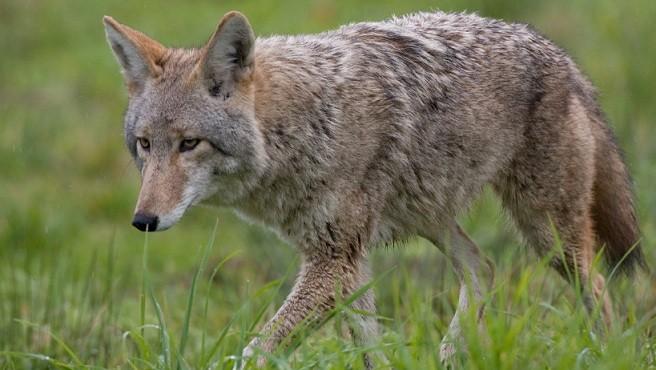 iStock coyote_240539