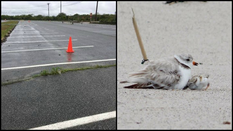 Dozens of beach parking spots roped off to protect threatened birds