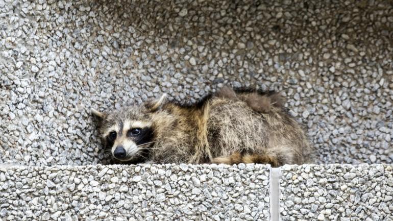 raccoon_1528915644768.jpg