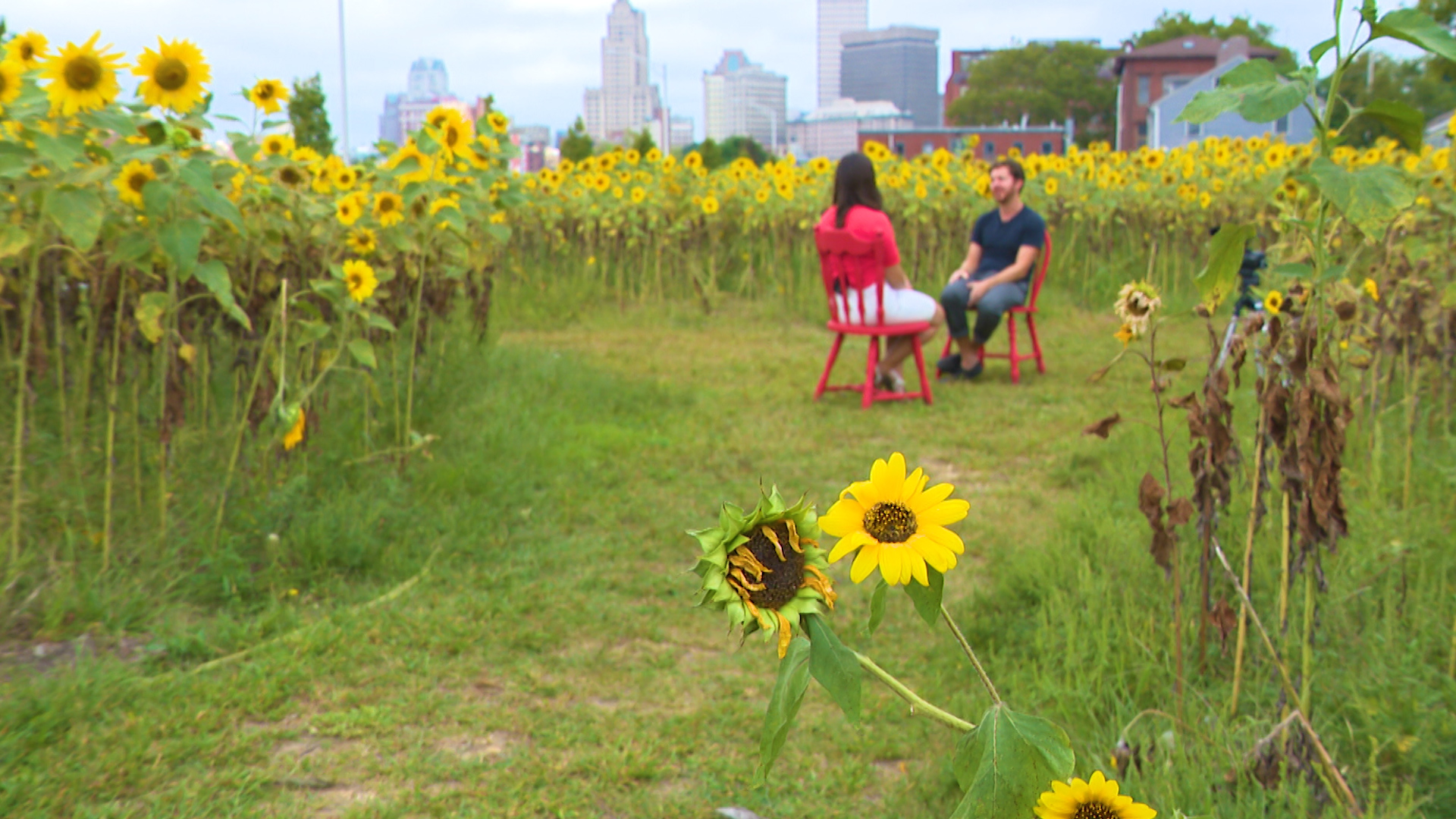 Sunflower Garden Brightens Vacant I 195 Land In Annual Tradition