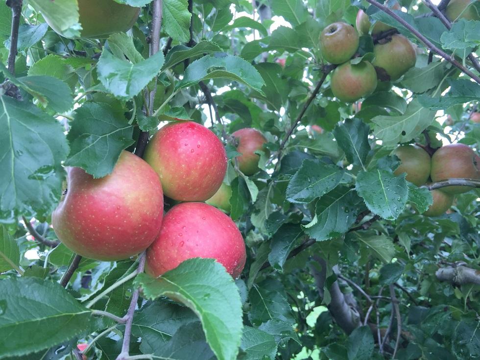 Red_Apples_2_1536612816903.JPG