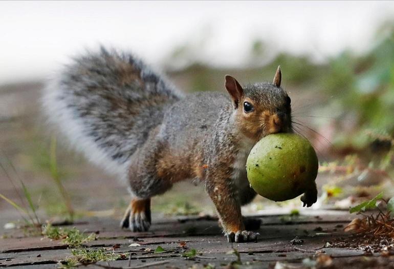 squirrel crops_1537131409124.jpg.jpg