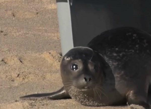 Mystic Aquarium releases Barnes the seal