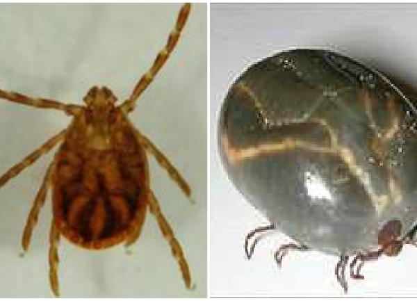 longhorned-tick-blend-from-APHIS-Veterinary-Services_1543868704630.jpg