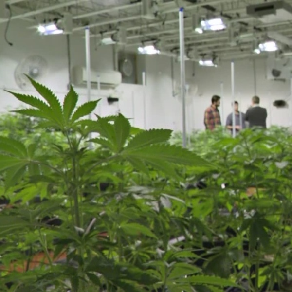 Pot by numbers in the growing medical marijuana industry