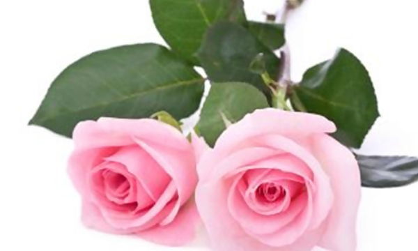 pink-roses-valentines-day-flowers_1515776493899_332004_ver1-0_31508321_ver1-0_640_360_660081