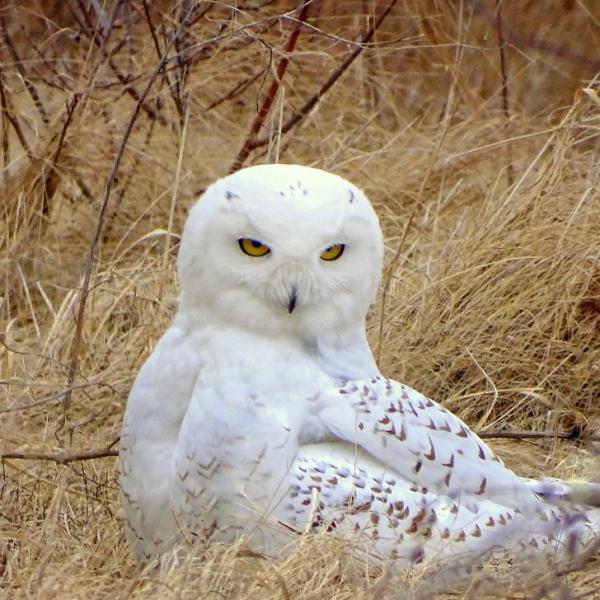 findmyri fitzy snow owl 5