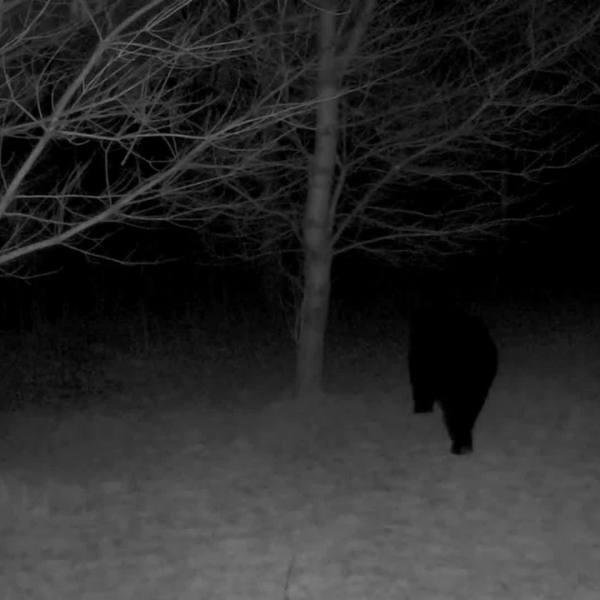 West Greenwich bear