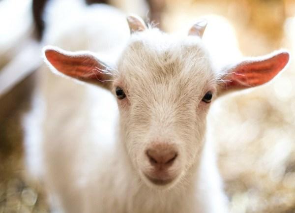 baby goat_1554246462963.jpg.jpg
