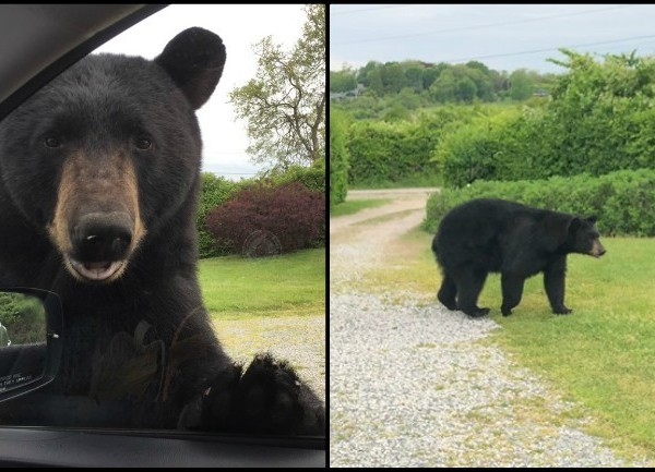 How to prevent black bears from becoming 'nuisance animals'