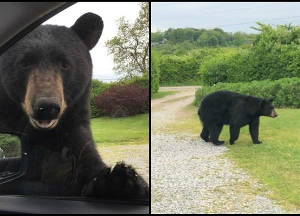 Narragansett bear sighting_1559069660655.jpg.jpg
