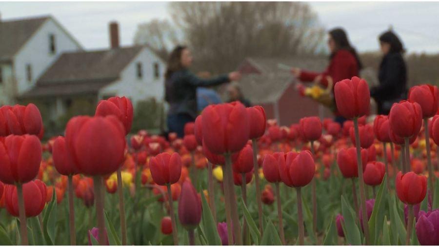 Wicked Tulips Flower Farm in 2019