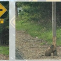 Video Now: Beaver chews road sign