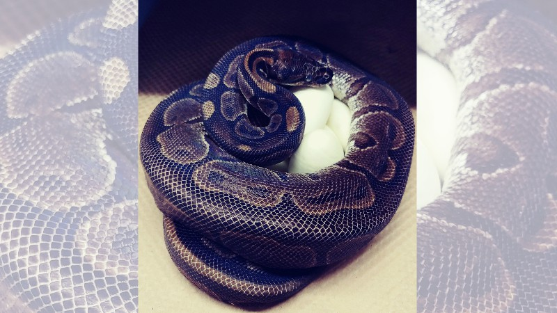 St Louis Zoo Says Python Laid 7 Eggs Without Male Help Wpri Com
