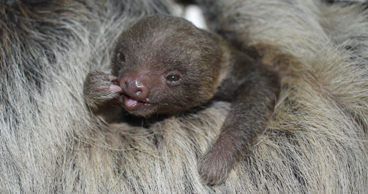 A close-up of a baby Hoffman's two-toed sloth wiping its mouth while buried in the fur of its mother.