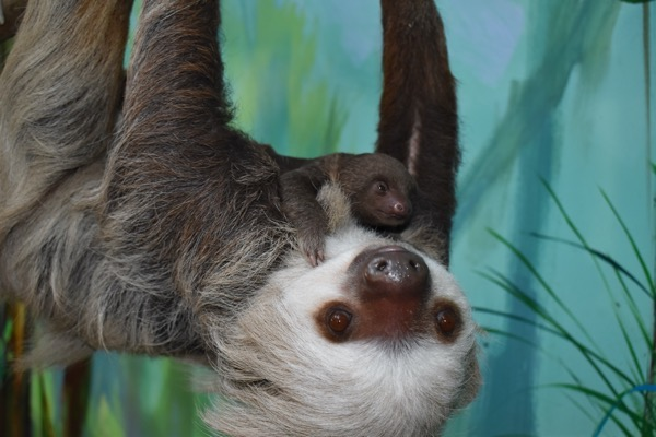 Sandy, a female Hoffman's two-toed sloth hangs upside down from a tree, looking past the camera at something, while her baby clings to her chest.